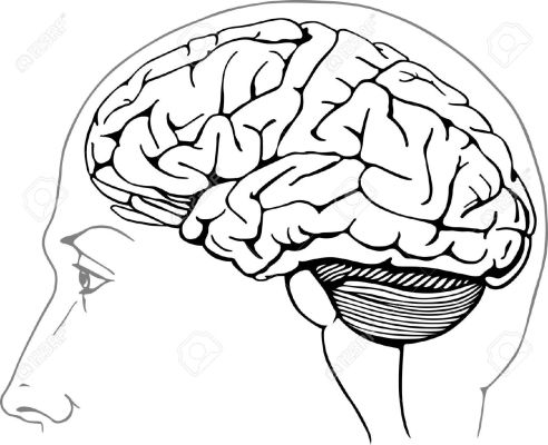 14687000-Human-brain-Stock-Vector-anatomy