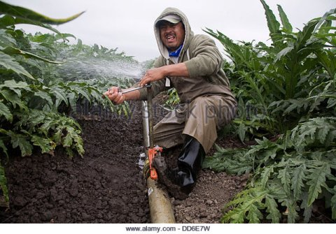 immigrant-mexican-farm-worker-irrigates-and-fixes-pipes-in-an-artichoke-dd6e7w