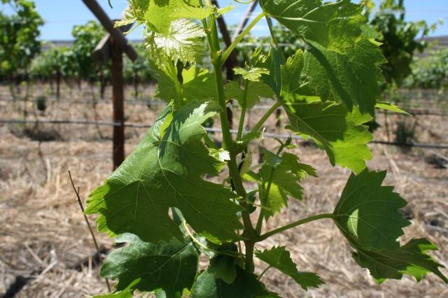 summer grapes.jpg